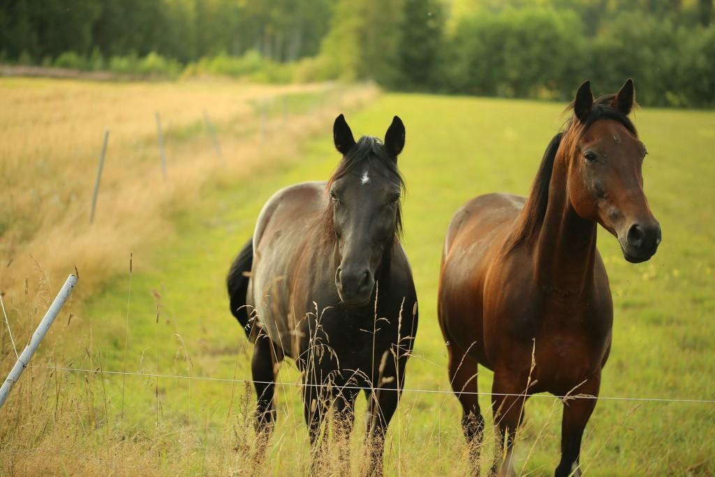 horse-579508_1920
